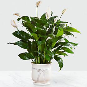 Comfort Planter